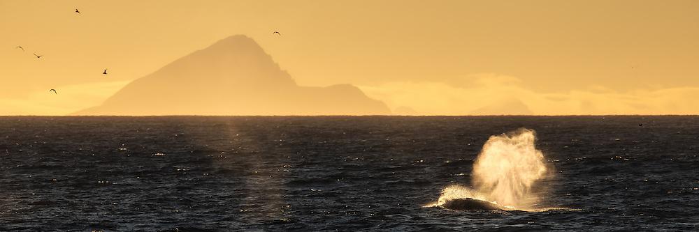 Whale in the Greenland Sea west of Prince Charles Forelan, Spitzbergen | Hvalblåst vest av prins Karls Forland, Svalbard.