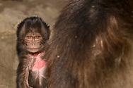 Ein junger Dschelada (Theropithecus gelada), Simien Nationalpark, Debark, Region Amhara, Äthiopien<br /> <br /> A young Gelada (Theropithecus gelada), Simien National Park, Debark, Amhara Region, Ethiopia