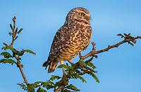 A Burrowing Owl, Athene cunicularia, perches in a tree in Zanjero Park, Gilbert, Arizona