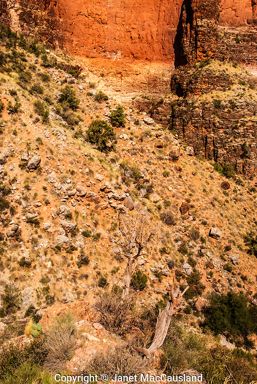Dead Cedars cling to the steep orange and brown slopes of the trail down into the Grand Canyon.
