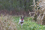 An English pointer wearing a GPS tracking collar hunts pheasants in Minnesota