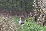 An English pointer wearing a GPS tracking collar hunts pheasants in Minnesota