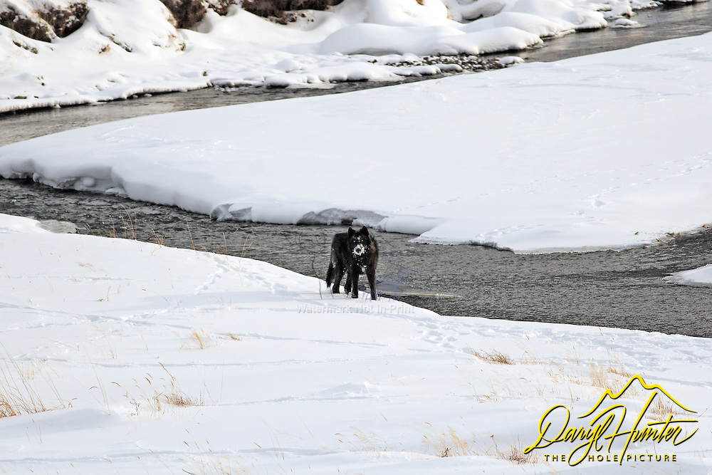 Black wolf of the Druid Pack that used to roam the Lamar Valley of Yellowstone National Park