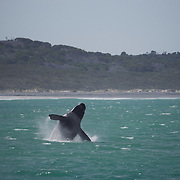 Southern Right Whale, breaching, South Africa