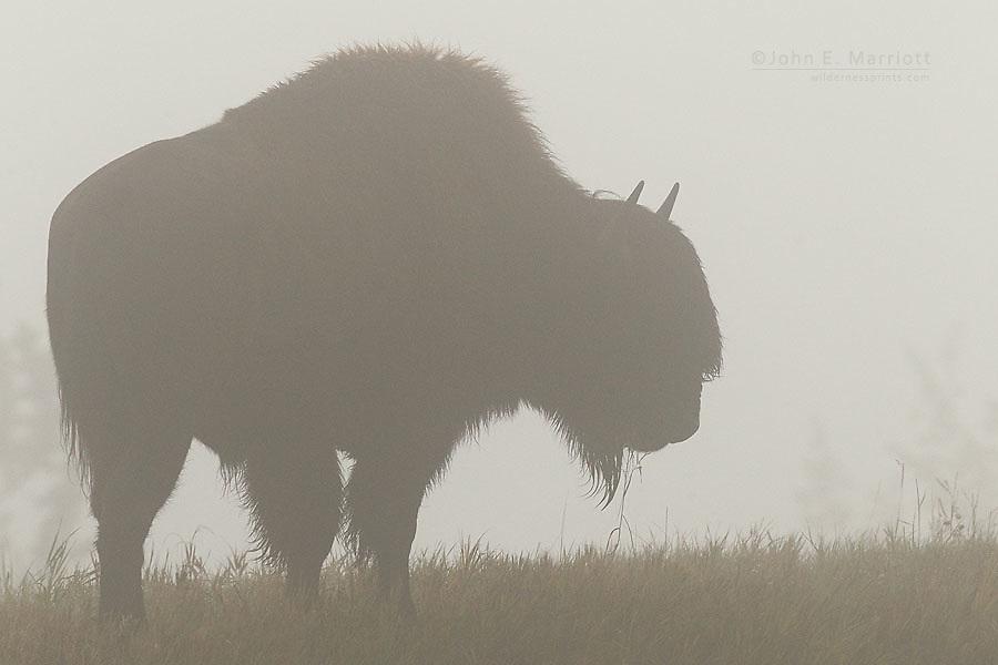 Wood bison, Northern BC, Canada