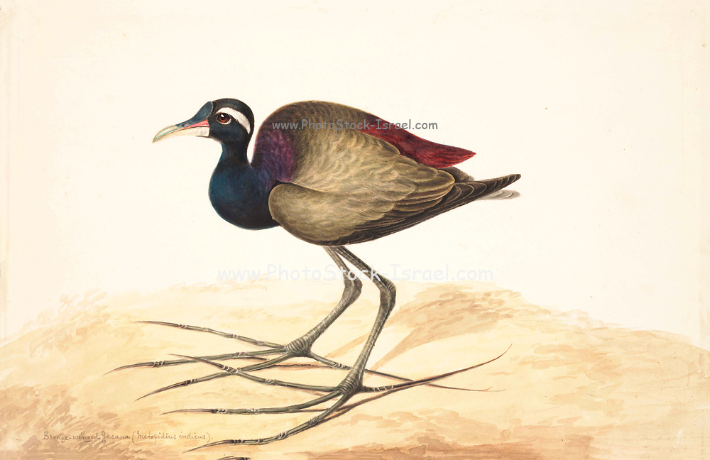 The bronze-winged jacana (Metopidius indicus) is a wader in the family Jacanidae. It is found across South and Southeast Asia and is the sole species in the genus Metopidius. Like other jacanas it forages on lilies and other floating aquatic vegetation, the long feet spreading out its weight and preventing sinking. 18th century watercolor painting by Elizabeth Gwillim. Lady Elizabeth Symonds Gwillim (21 April 1763 – 21 December 1807) was an artist married to Sir Henry Gwillim, Puisne Judge at the Madras high court until 1808. Lady Gwillim painted a series of about 200 watercolours of Indian birds. Produced about 20 years before John James Audubon, her work has been acclaimed for its accuracy and natural postures as they were drawn from observations of the birds in life. She also painted fishes and flowers. McGill University Library and Archives