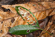 Green leaf on forest floor, been eaten by insects, Panama, Central America, Gamboa Reserve, Parque Nacional Soberania, showing recycling on forest floor, decomposition