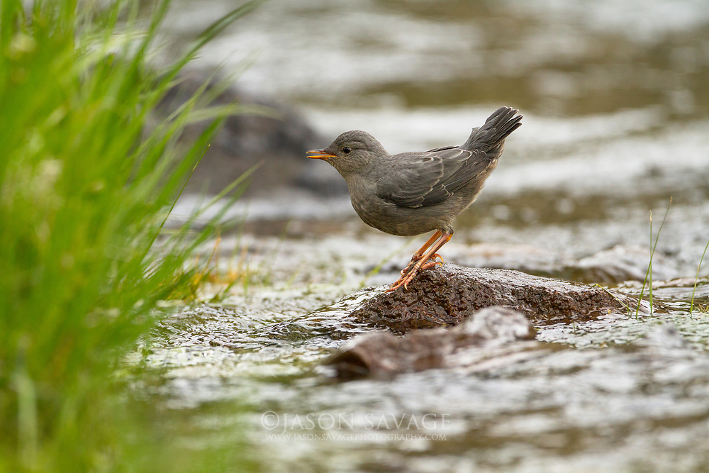 American Dipper on the Yellowstone River, Montana.