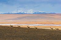 Tibetan gazelles or Goa, Procapra picticaudata, running in a line in  Yushu, Haixi, Qinghai, China