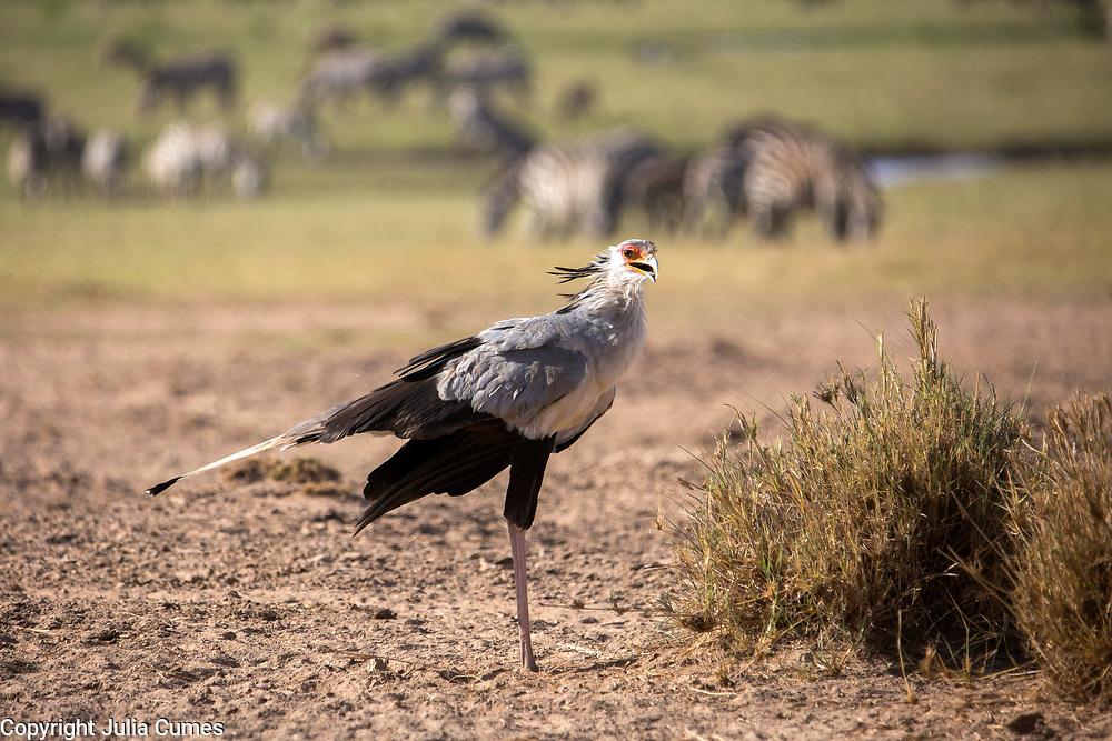 A secretary bird is photographed in Amboseli National Park in Kenya.  1/24/2017 IFAW/Julia Cumes