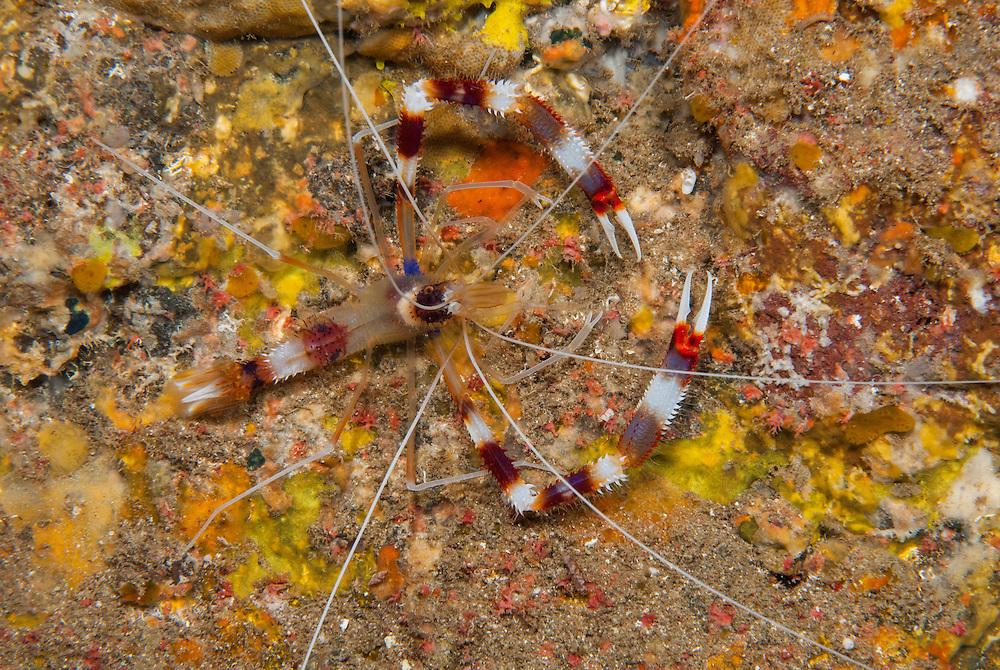 Kermadecs Marine Reserve Banded Coral shrimp, Stenopus hispidus