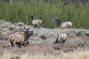 Bull elk tending harem during the rut in Wyoming