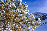 Pine branch in winter, John Muir Wilderness, Sierra Nevada Mountains, California  USA