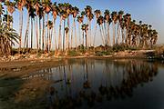 A row of mature Washingtonia filifera aka California fan palms. Photographed in Israel