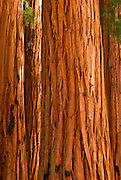 Detail of the Senate Grove of Giant Sequoias, Giant Forest, Sequoia National Park, California