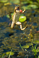 Jumping marsh frog, Pelophylax ridibundus. The marsh frog is the largest frog native to Europe and belongs to the family of true frogs. Danube Delta, Romania