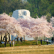 Some of the cherry blossom trees surrounding the Martin Luther King Memorial in Washington DC. The Yoshino Cherry Blossom trees lining the Tidal Basin in Washington DC bloom each early spring. Some of the original trees from the original planting 100 years ago (in 2012) are still alive and flowering. Because of heatwave conditions extending across much of the North American continent and an unusually warm winter in the Washington DC region, the 2012 peak bloom came earlier than usual.