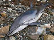 Striped Dolphin Stenella coeruleoalba Length to 2.5m Streamlined shape is similar to that of other dolphin species. Dorsal surface is dark, underside is bluish-pink. Flanks are pale grey with one short black stripe running back from ear, and a longer one along the side of the body. Widespread in both Pacific and Atlantic oceans.