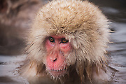 An adult snow monkey (Macaca fuscata) with a large furry head sitting in a hot spring,  Jigokudani, Yamanouchi, Japan