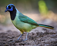 Green Jay (Cyanocorax yncas). Campos Viejos, Texas. Image taken with a Nikon D4 camera and 500 mm f/4 VR lens.