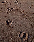 Lynx, Lynx canadensis, tracks in soft sand of a Lake Superior beach, Lake Superior Provincial Park, Ontario, Canada.