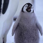 Emperor Penguin, (Aptenodytes forsteri) Chick cries for food.Riiser Larsen ice shelf.Antarctica.