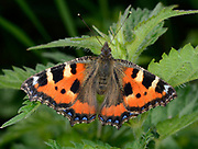 Close-up of a Small tortoiseshell butterfly (Aglais urticae) resting with open wings on a nettle leaf in a Norfolk open woodland habitat in summer