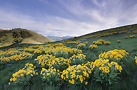 Arrowleaf Balsamroot (Balsamorhiza sagittata) growing in meadows of the Methow Valley, North Cascades Washington