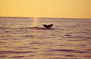 Humpback whale tail at sunset<br />