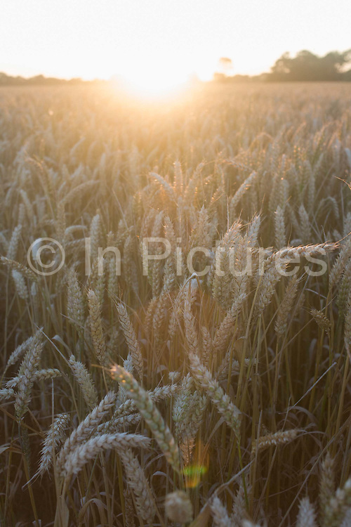 A late summer cornfield bathed in strong evening sunlight on fields of a farm in Suffolk, England. With the solar power of the sun shining on these crops of ears of corn, the cereals are ripe for harvesting. Wheat is a grass with a very swollen grain that when ground, produces a flour that is particularly suitable for the production of bread and biscuits. It is the world's most important crop. Cereals are grasses (members of the monocot family Poaceae, also known as Gramineae. In their natural form (as in whole grain), they are a rich source of vitamins, minerals, carbohydrates, fats, oils, and protein.