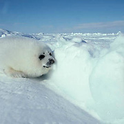 Harp Seal, (Pagophilus groenlandicus) Called a white coat, rests on an ice pack. Nova Scotia. Canada.