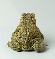 California toad (Western toad), Bufo boreas halophilus.  Eel River, Mendocino County, California