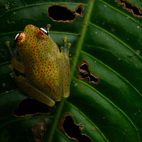 Tree frog (Boophis tasymena), male. Ranomafana National Park, Madagascar.