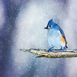 A Tufted Titmouse Perches To Enjoy The Snow Flurries