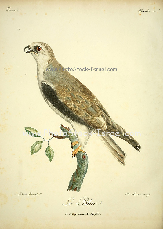 Circaète Jean-le-Blanc short-toed snake eagle (Circaetus gallicus), also known as the short-toed eagle, is a medium-sized bird of prey in the family Accipitridae, which also includes many other diurnal raptors such as kites, buzzards and harriers. Bird of Prey from the Book Histoire naturelle des oiseaux d'Afrique [Natural History of birds of Africa] by Le Vaillant, François, 1753-1824; Publish in Paris by Chez J.J. Fuchs, libraire .1799