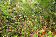 Rainforest in Endau-Rompin National Park, Malaysia. This humid jungle is one of the world's oldest rainforest.  It has survived, untouched by the ice ages, for 130 million years.