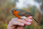 Israel ringing an European Robin (Erithacus rubecula) Photographed in Israel in January
