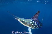 striped marlin, Kajikia audax (formerly Tetrapturus audax ), off Baja California, Mexico ( Eastern Pacific Ocean ); haze behind marlin is blood and scales from sardines slaughtered by marlin