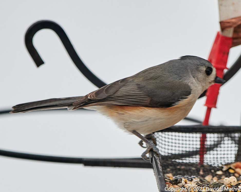 Tufted Titmouse (Baeolophus bicolor). Image taken with a Nikon D850 camera and 500 mm f/4 VR lens.