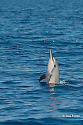 Hawaiian spinner dolphin or Gray's spinner dolphin or long-snouted spinner dolphin, Stenella longirostris longirostris, spyhopping, Kukio, Kona Coast, Big Island, Hawaii ( Central Pacific Ocean )