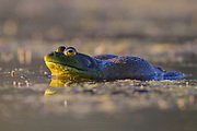 Stock photo of American bullfrog image captured in Colorado.  This true frog inhabits swamps and ponds. The male has a yellow throat. The male defends his teriitory during the breeding season. His call sounds like the roar of a bull, which gives the frog it's name.