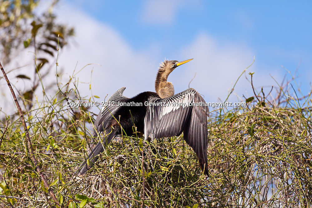 An Anhinga (Anhinga anhinga) drying its wings while perched in vegetation on the bank of a canal in the Shark Valley section of Everglades National Park, Florida. WATERMARKS WILL NOT APPEAR ON PRINTS OR LICENSED IMAGES.