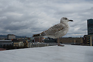 Historic Oslo, Norway, is seen from the roof of the Operahuset, where a gull gets a bird's-eye view on May 11, 2013. (© 2013 Cindi Christie)