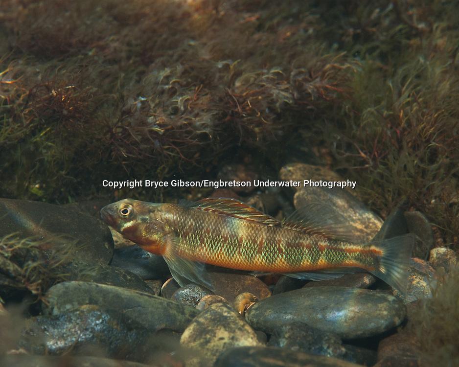 Gilt Darter<br /> <br /> Bryce Gibson/Engbretson Underwater Photography