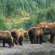 Alaskan Brown Bear, (Ursus middendorffi)  Mother and cubs along river. Coastal Alaska.