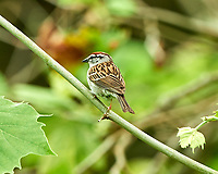 Chipping Sparrow. Image taken with a Nikon D800 camera and 500 mm f/4 VR lens