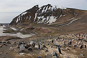 Chinstrap Penguin (Pygoscelis antarctica) colony, on the hike from Baily Head to Whaler's Bay, Deception Island, Antarctica.