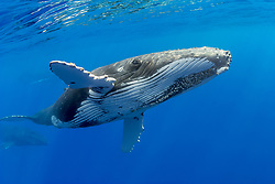 humpback whales, Megaptera novaeangliae, in competitive group, Hawaii, USA, Pacific Ocean