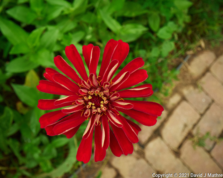 Zinnia. Image taken with a Leica SL2s camera and Loawa 24 mm f/14 macro lens.