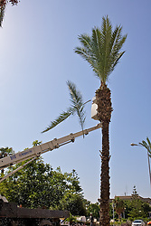 Cutting Down Date Palm Tree Branches For Sukkot